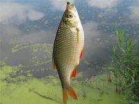 Интересная ловля красноперки: подход опытных рыбаловов
