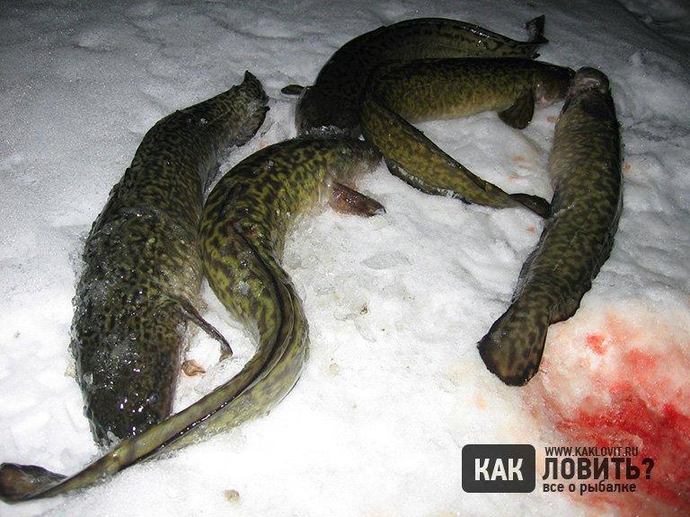 зимняя ловля налима