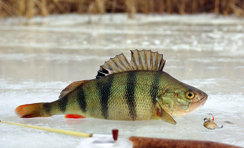 Весенняя подледная рыбалка на окуня