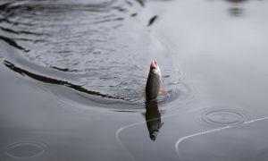 Поплавочная снасть для ловли плотвы в проводку