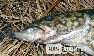Пища для хищника: на что ловить налима?