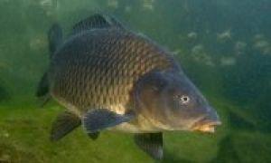 Рыбалка на сазана – выбор опытных рыбаловов