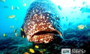 Окунь групер – морской окунь размеры которого просто ошеломляют!